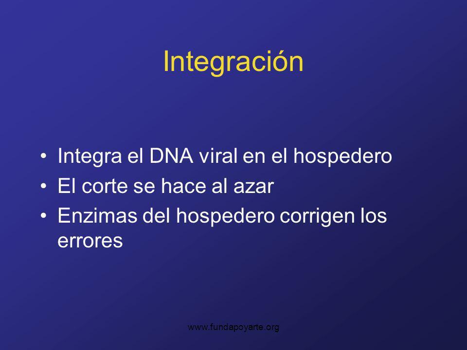 www.fundapoyarte.org Integración Integra el DNA viral en el hospedero El corte se hace al azar Enzimas del hospedero corrigen los errores