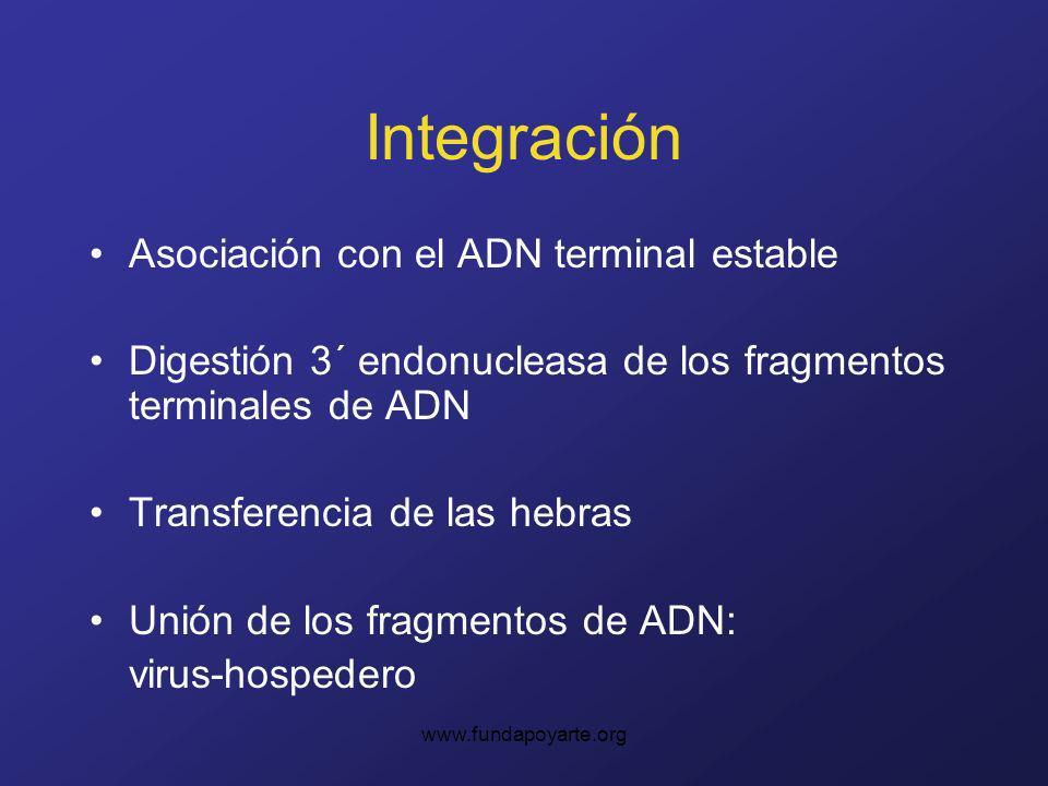 www.fundapoyarte.org Integración Asociación con el ADN terminal estable Digestión 3´ endonucleasa de los fragmentos terminales de ADN Transferencia de las hebras Unión de los fragmentos de ADN: virus-hospedero