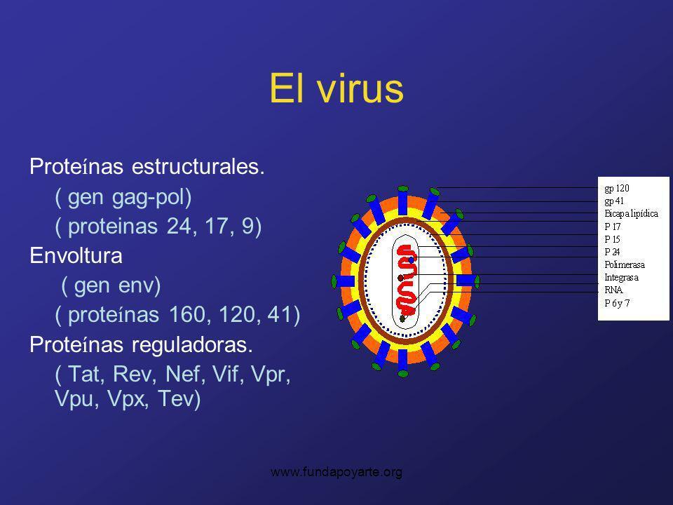 www.fundapoyarte.org El virus Prote í nas estructurales. ( gen gag-pol) ( proteinas 24, 17, 9) Envoltura ( gen env) ( prote í nas 160, 120, 41) Prote