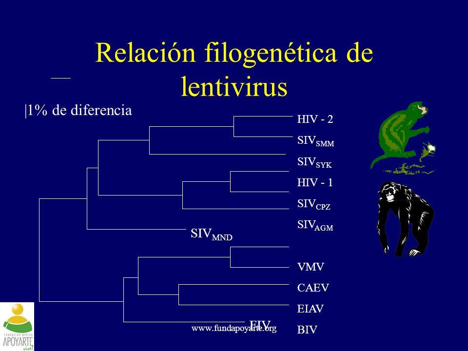 www.fundapoyarte.org Relación filogenética de lentivirus HIV - 2 SIV SMM SIV SYK HIV - 1 SIV CPZ SIV AGM VMV CAEV EIAV BIV SIV MND FIV |1% de diferenc