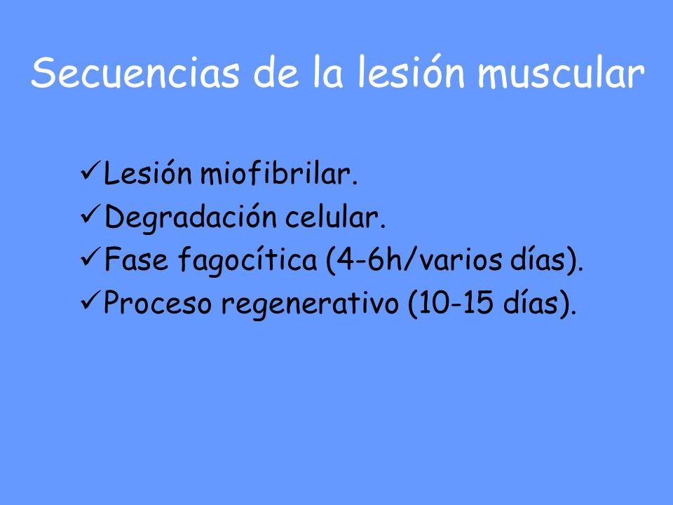 Secuencias de la lesión muscular Lesión miofibrilar. Degradación celular. Fase fagocítica (4-6h/varios días). Proceso regenerativo (10-15 días).