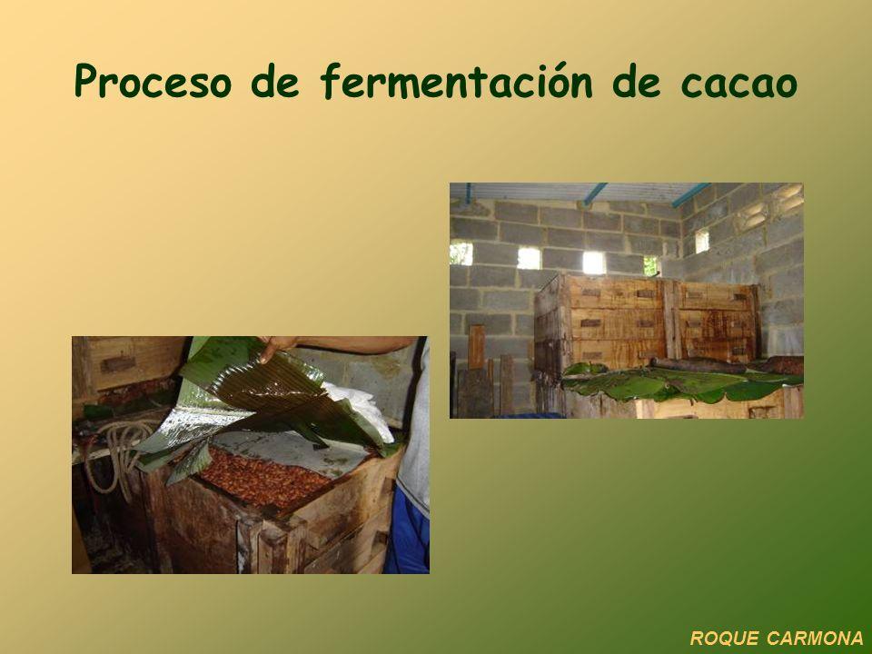 Proceso de fermentación de cacao ROQUE CARMONA