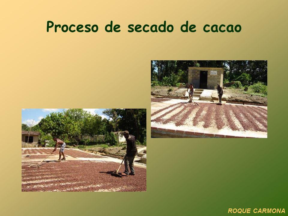 Proceso de secado de cacao ROQUE CARMONA
