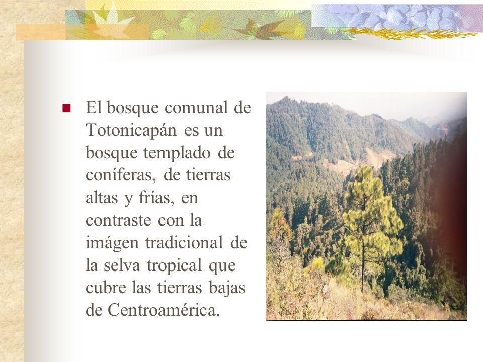 El bosque comunal de Totonicapán es un bosque templado de coníferas, de tierras altas y frías, en contraste con la imágen tradicional de la selva trop