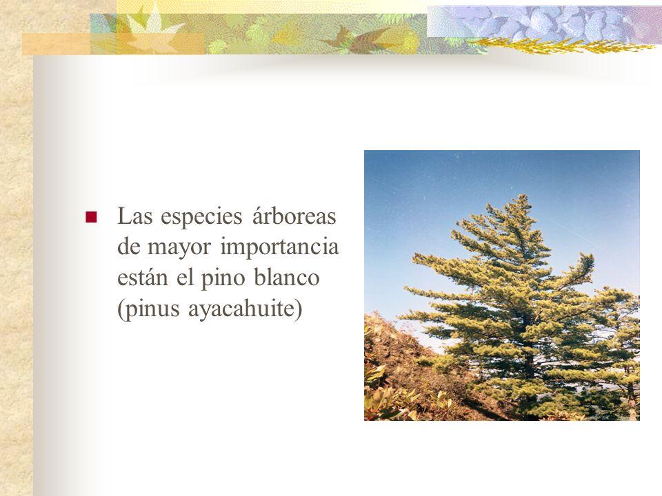 Las especies árboreas de mayor importancia están el pino blanco (pinus ayacahuite)