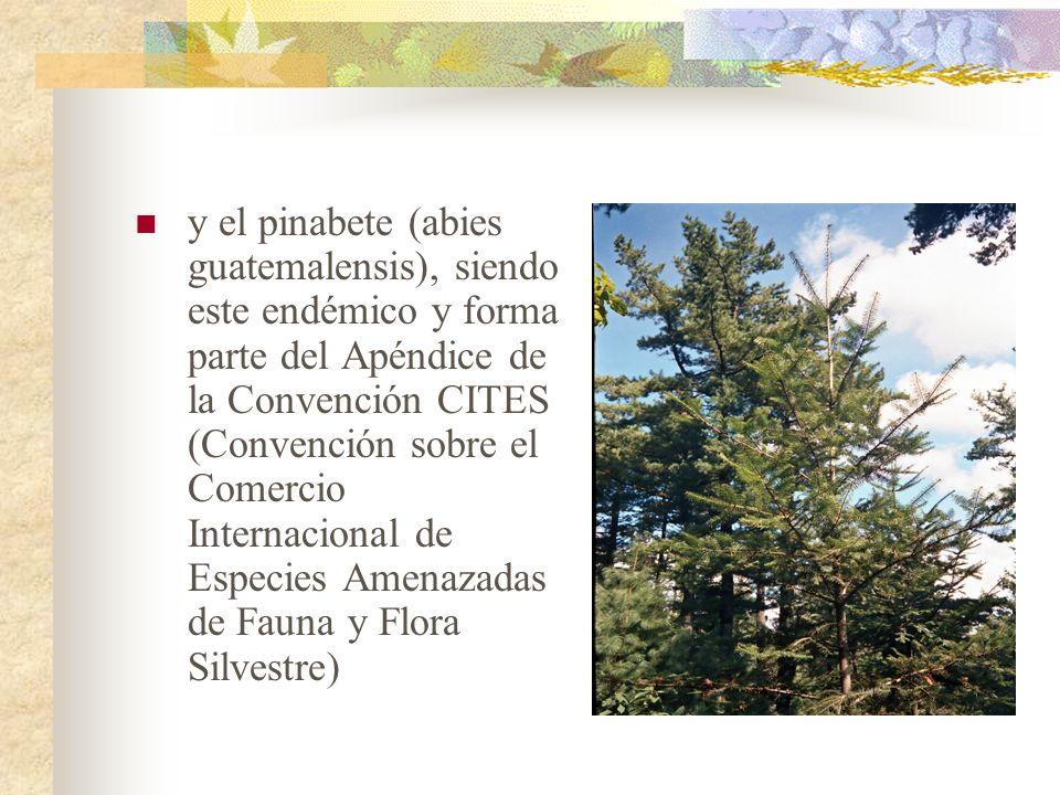 y el pinabete (abies guatemalensis), siendo este endémico y forma parte del Apéndice de la Convención CITES (Convención sobre el Comercio Internaciona