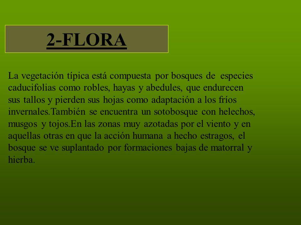 2-FLORA La vegetación típica está compuesta por bosques de especies caducifolias como robles, hayas y abedules, que endurecen sus tallos y pierden sus