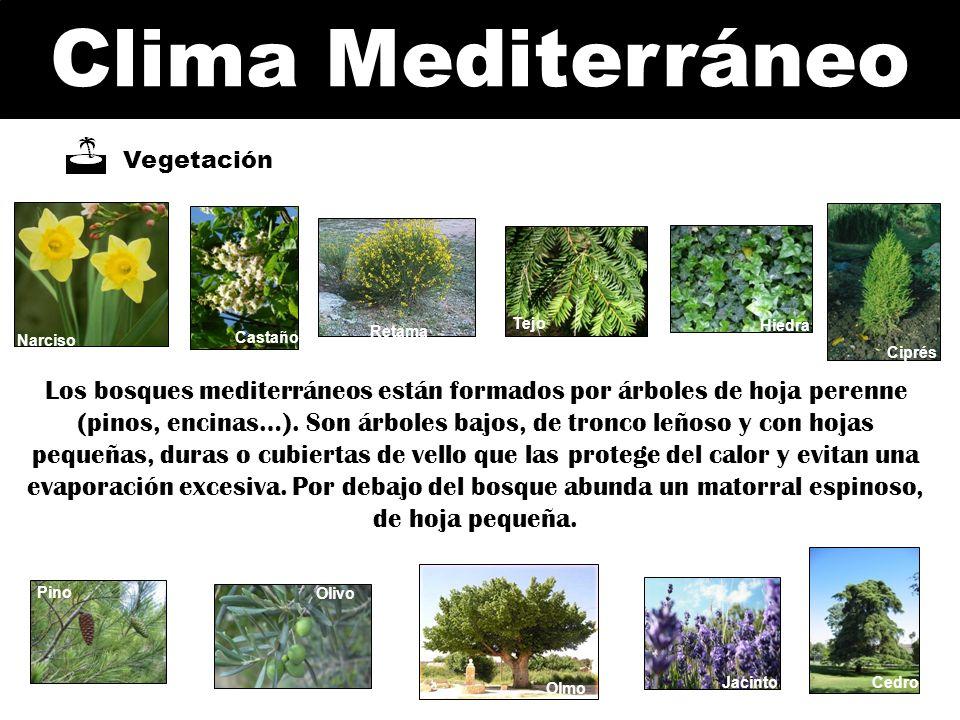 Clima Mediterráneo Vegetación Narciso Pino Olivo Jacinto Ciprés Hiedra Retama Castaño Tejo Cedro Olmo Los bosques mediterráneos están formados por árb