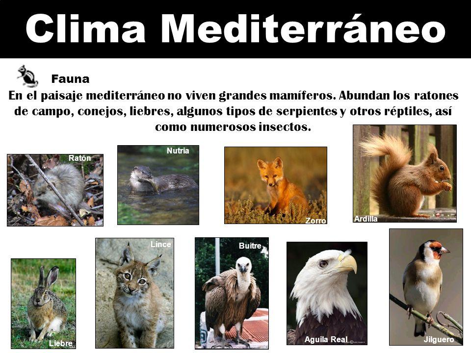 Clima Mediterráneo Fauna Ardilla Liebre Rata Jilguero Nutria Zorro Buitre Aguila Real Lince Rata En el paisaje mediterráneo no viven grandes mamíferos