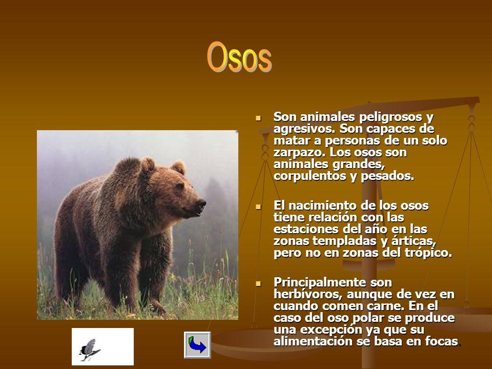 Son animales peligrosos y agresivos. Son capaces de matar a personas de un solo zarpazo. Los osos son animales grandes, corpulentos y pesados. El naci