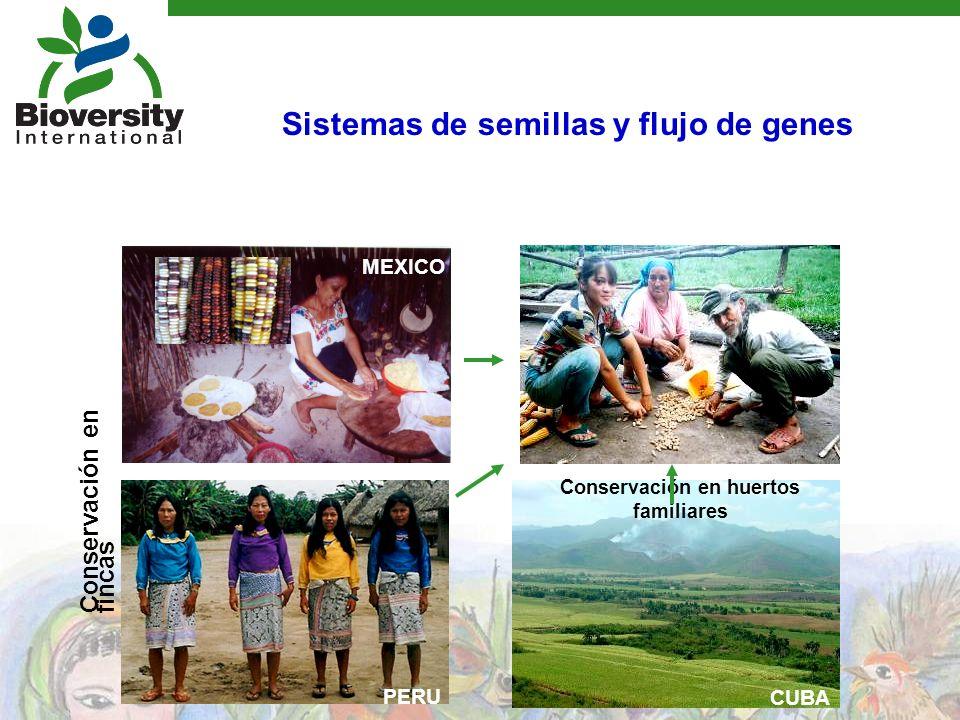 Conservación en huertos familiares PERU MEXICO CUBA Conservación en fincas Sistemas de semillas y flujo de genes