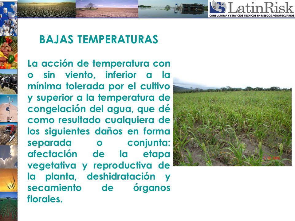 BAJAS TEMPERATURAS La acción de temperatura con o sin viento, inferior a la mínima tolerada por el cultivo y superior a la temperatura de congelación