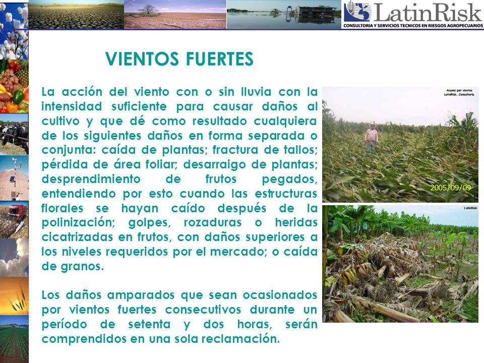 VIENTOS FUERTES La acción del viento con o sin lluvia con la intensidad suficiente para causar daños al cultivo y que dé como resultado cualquiera de