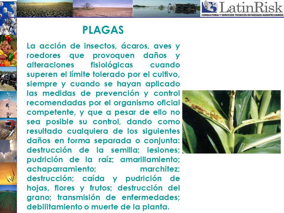 PLAGAS La acción de insectos, ácaros, aves y roedores que provoquen daños y alteraciones fisiológicas cuando superen el límite tolerado por el cultivo