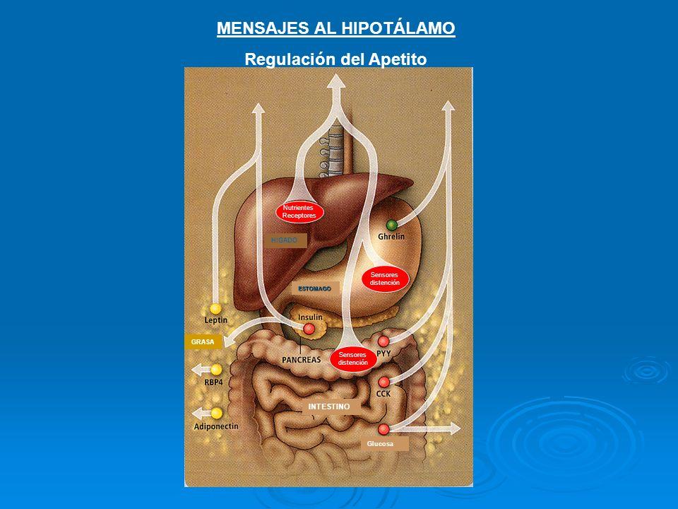 APETITO Control del Apetito En el núcleo arcuate del hipotálamo llega información en forma de peptidos (ghrelina y PYY) y hormonas (leptina, insulina) a neuronas asociadas con el apetito (café) y saciedad (azul).