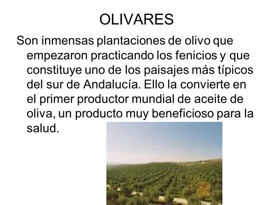 OLIVARES Son inmensas plantaciones de olivo que empezaron practicando los fenicios y que constituye uno de los paisajes más típicos del sur de Andaluc