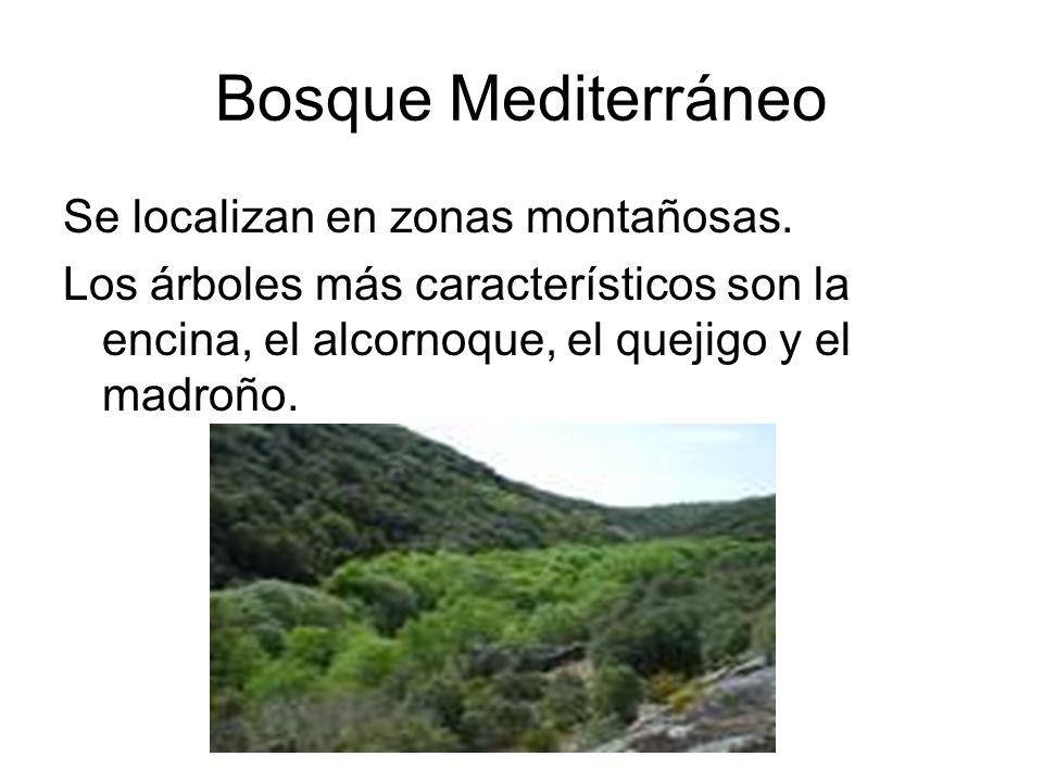 Bosque Mediterráneo Se localizan en zonas montañosas. Los árboles más característicos son la encina, el alcornoque, el quejigo y el madroño.