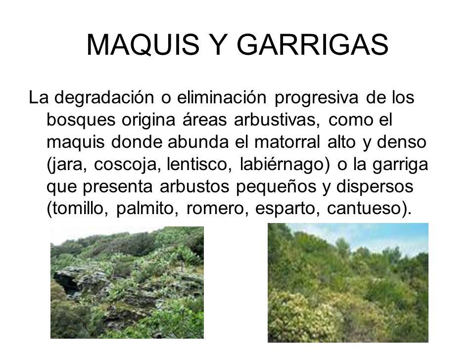 MAQUIS Y GARRIGAS La degradación o eliminación progresiva de los bosques origina áreas arbustivas, como el maquis donde abunda el matorral alto y dens