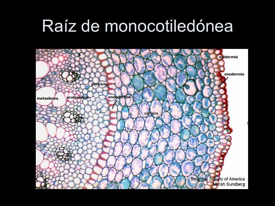 Raíz de monocotiledónea