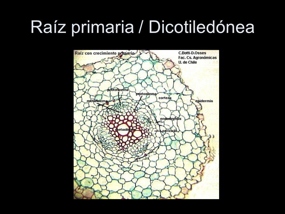 Raíz primaria / Dicotiledónea