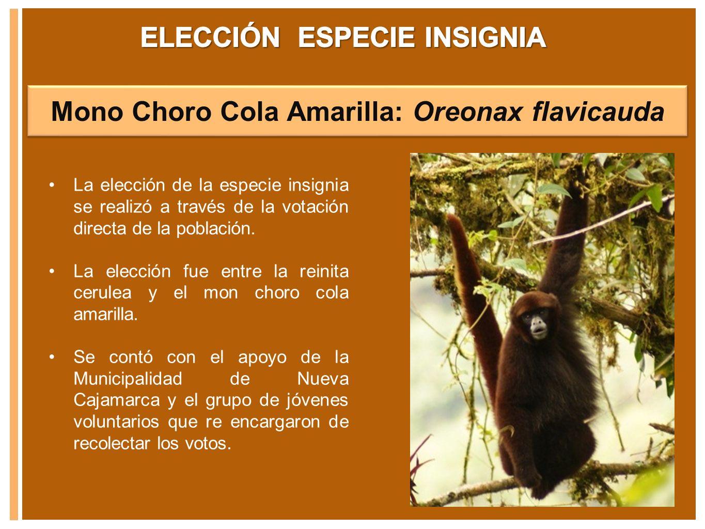 Mono Choro Cola Amarilla: Oreonax flavicauda La elección de la especie insignia se realizó a través de la votación directa de la población. La elecció