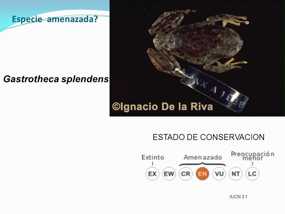Especie amenazada Gastrotheca splendens ESTADO DE CONSERVACION IUCN 3:1