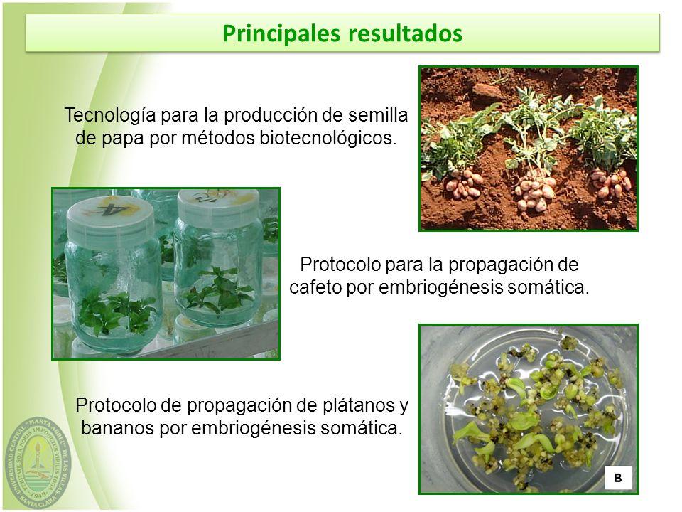 Tecnología para la producción de semilla de papa por métodos biotecnológicos. Protocolo para la propagación de cafeto por embriogénesis somática. Prot