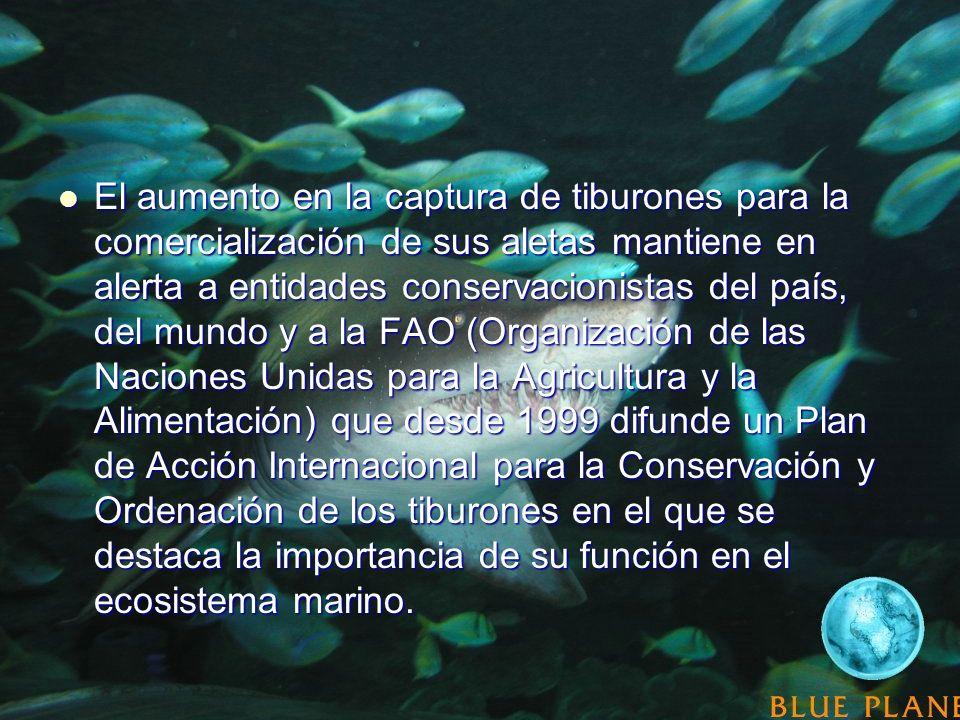 El aumento en la captura de tiburones para la comercialización de sus aletas mantiene en alerta a entidades conservacionistas del país, del mundo y a