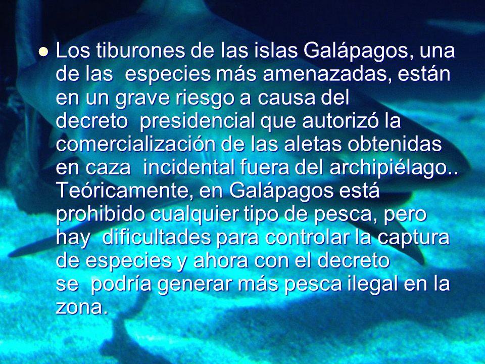 Los tiburones de las islas Galápagos, una de las especies más amenazadas, están en un grave riesgo a causa del decreto presidencial que autorizó la co