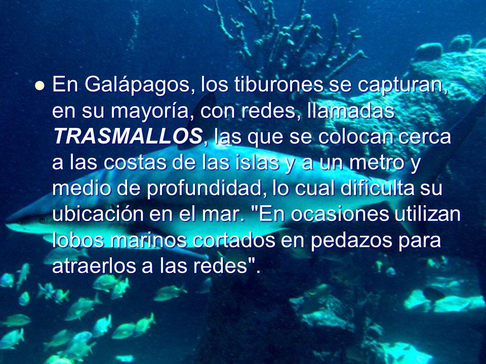 En Galápagos, los tiburones se capturan, en su mayoría, con redes, llamadas TRASMALLOS, las que se colocan cerca a las costas de las islas y a un metr
