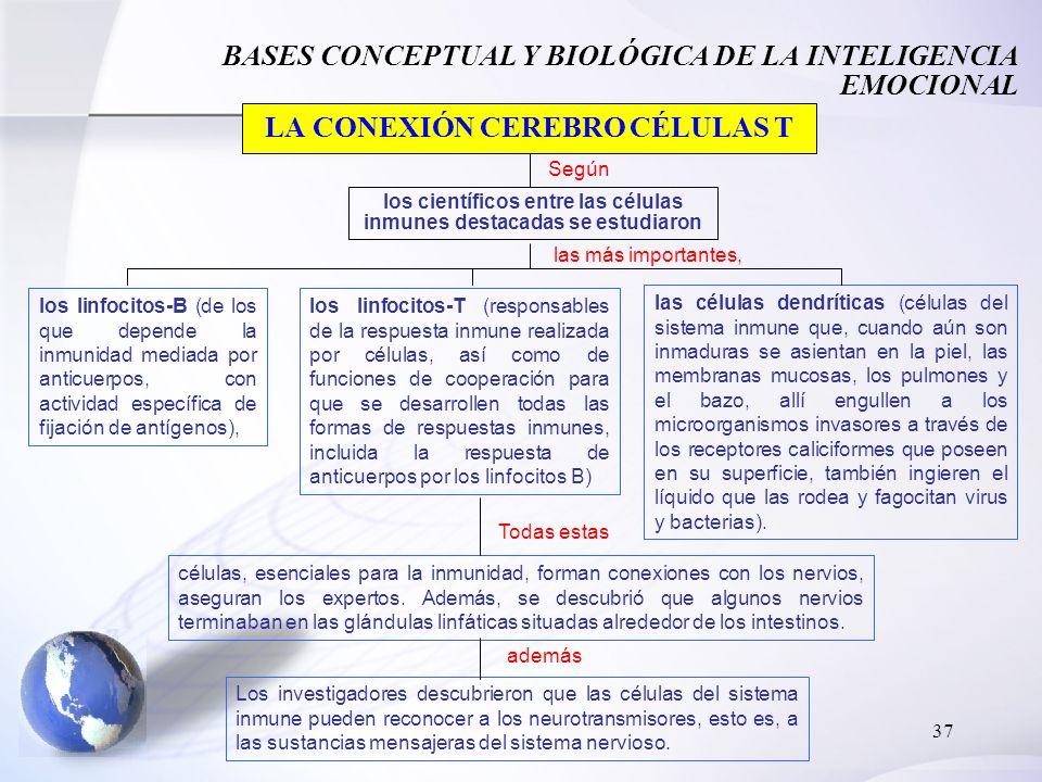 37 BASES CONCEPTUAL Y BIOLÓGICA DE LA INTELIGENCIA EMOCIONAL LA CONEXIÓN CEREBRO CÉLULAS T Según los científicos entre las células inmunes destacadas se estudiaron las más importantes, los linfocitos-B (de los que depende la inmunidad mediada por anticuerpos, con actividad específica de fijación de antígenos), los linfocitos-T (responsables de la respuesta inmune realizada por células, así como de funciones de cooperación para que se desarrollen todas las formas de respuestas inmunes, incluida la respuesta de anticuerpos por los linfocitos B) las células dendríticas (células del sistema inmune que, cuando aún son inmaduras se asientan en la piel, las membranas mucosas, los pulmones y el bazo, allí engullen a los microorganismos invasores a través de los receptores caliciformes que poseen en su superficie, también ingieren el líquido que las rodea y fagocitan virus y bacterias).