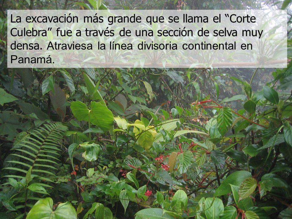 La excavación más grande que se llama el Corte Culebra fue a través de una sección de selva muy densa. La excavación más grande que se llama el Corte