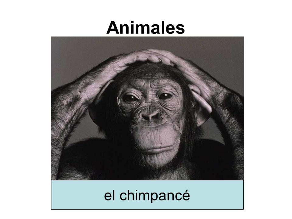 Animales el chimpancé