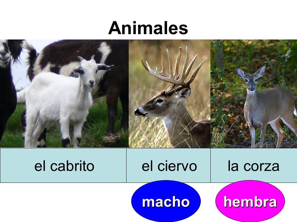 Animales el cabritoel ciervola corza machohembra
