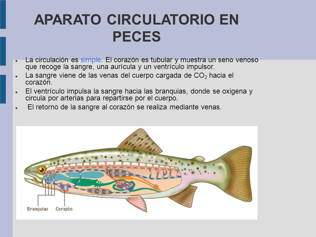 APARATO CIRCULATORIO EN PECES La circulación es simple. El corazón es tubular y muestra un seno venoso que recoge la sangre, una aurícula y un ventríc