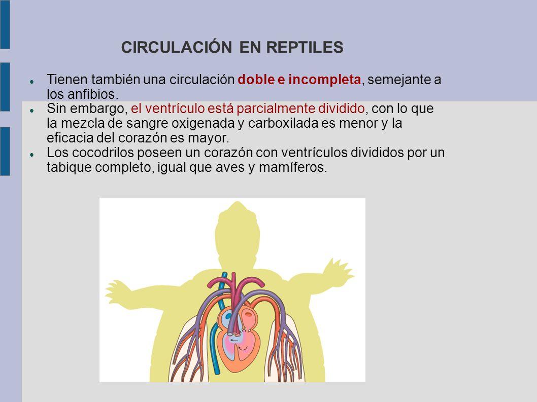 CIRCULACIÓN EN REPTILES Tienen también una circulación doble e incompleta, semejante a los anfibios. Sin embargo, el ventrículo está parcialmente divi