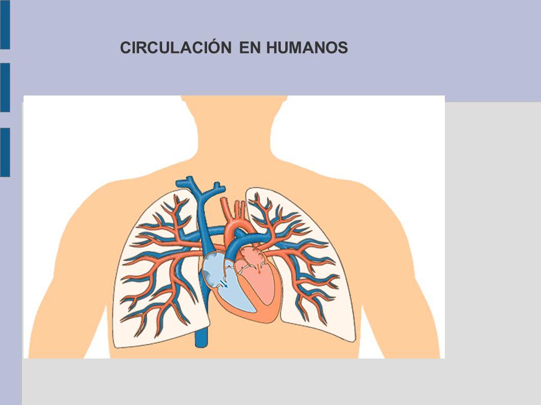 CIRCULACIÓN EN HUMANOS