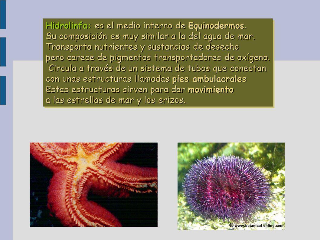 Hidrolinfa: es el medio interno de Equinodermos. Su composición es muy similar a la del agua de mar. Transporta nutrientes y sustancias de desecho per