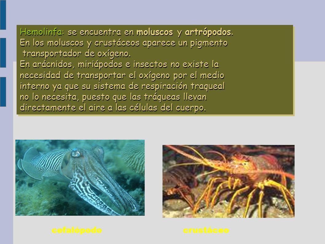 cefalópodocrustáceo Hemolinfa: se encuentra en moluscos y artrópodos. En los moluscos y crustáceos aparece un pigmento transportador de oxígeno. trans