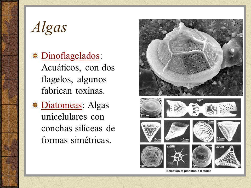 Algas Dinoflagelados: Acuáticos, con dos flagelos, algunos fabrican toxinas. Diatomeas: Algas unicelulares con conchas silíceas de formas simétricas.