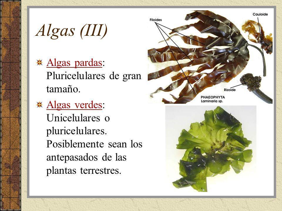 Algas (III) Algas pardas: Pluricelulares de gran tamaño. Algas verdes: Unicelulares o pluricelulares. Posiblemente sean los antepasados de las plantas