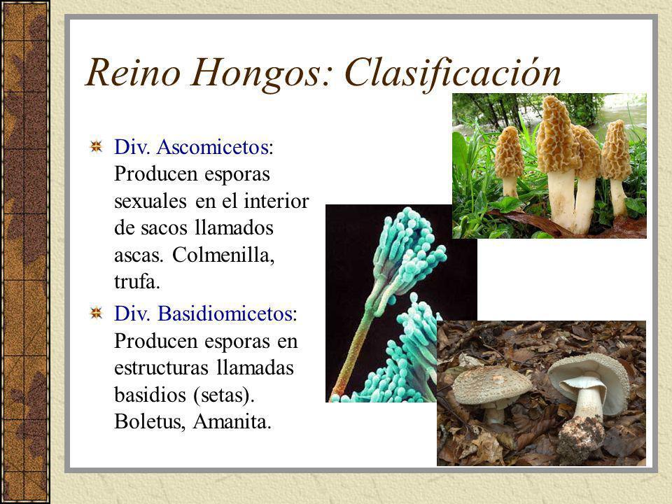 Reino Hongos: Clasificación Div. Ascomicetos: Producen esporas sexuales en el interior de sacos llamados ascas. Colmenilla, trufa. Div. Basidiomicetos