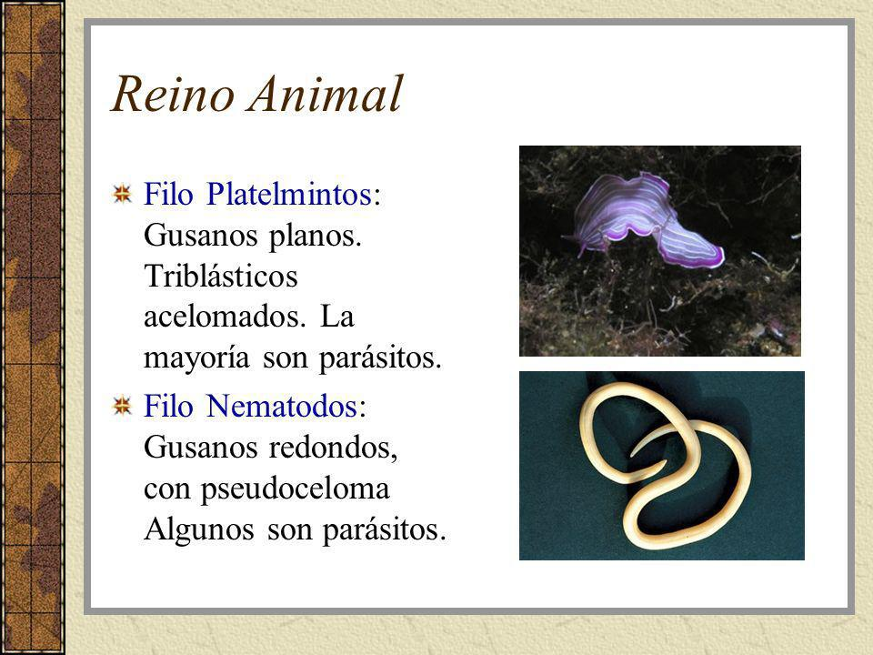 Reino Animal Filo Platelmintos: Gusanos planos. Triblásticos acelomados. La mayoría son parásitos. Filo Nematodos: Gusanos redondos, con pseudoceloma