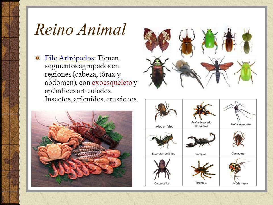Reino Animal Filo Artrópodos: Tienen segmentos agrupados en regiones (cabeza, tórax y abdomen), con exoesqueleto y apéndices articulados. Insectos, ar
