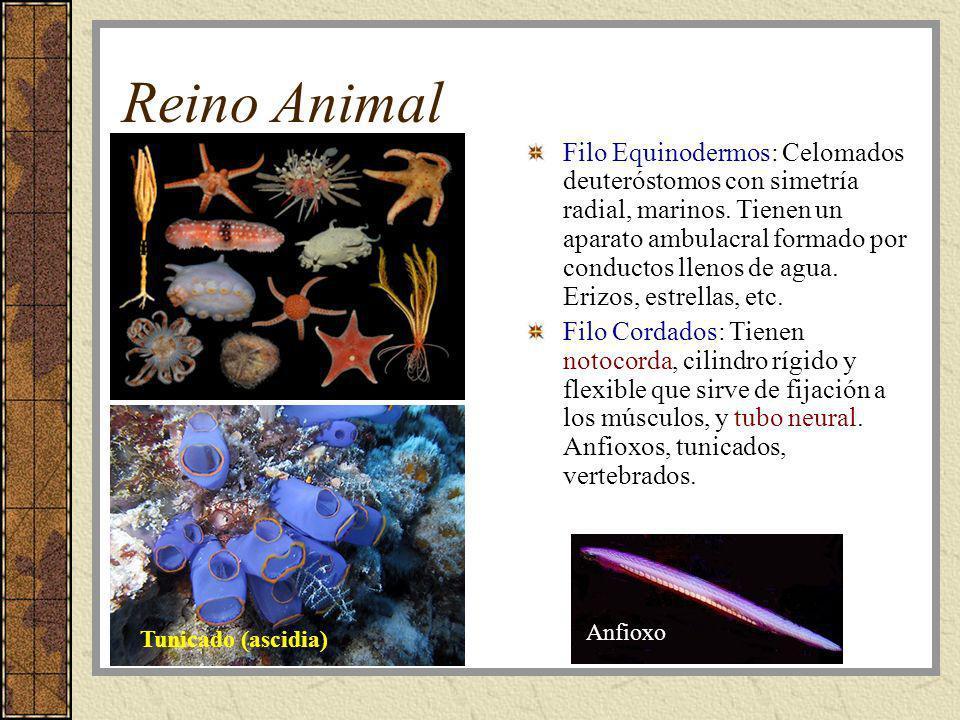 Reino Animal Filo Equinodermos: Celomados deuteróstomos con simetría radial, marinos. Tienen un aparato ambulacral formado por conductos llenos de agu