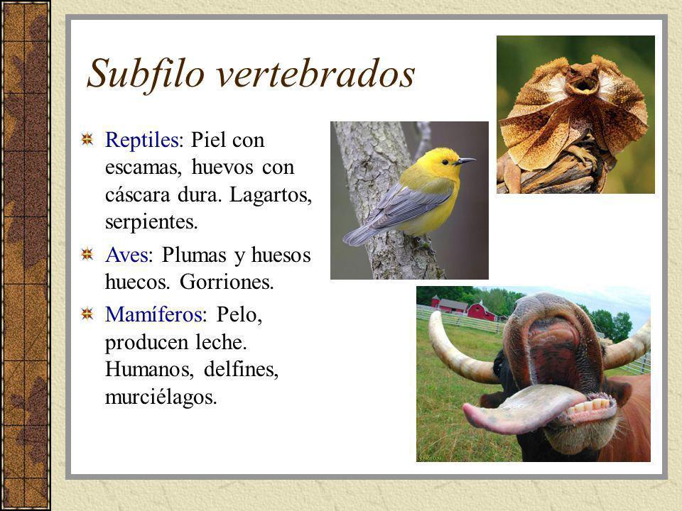 Subfilo vertebrados Reptiles: Piel con escamas, huevos con cáscara dura. Lagartos, serpientes. Aves: Plumas y huesos huecos. Gorriones. Mamíferos: Pel