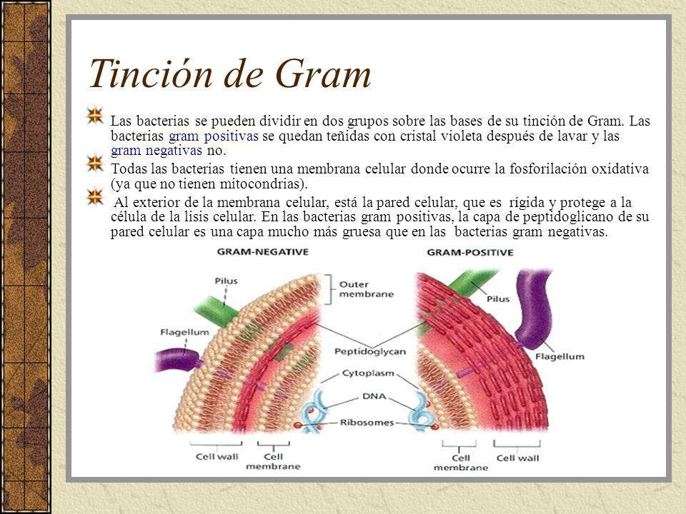 Tinción de Gram Las bacterias se pueden dividir en dos grupos sobre las bases de su tinción de Gram. Las bacterias gram positivas se quedan teñidas co