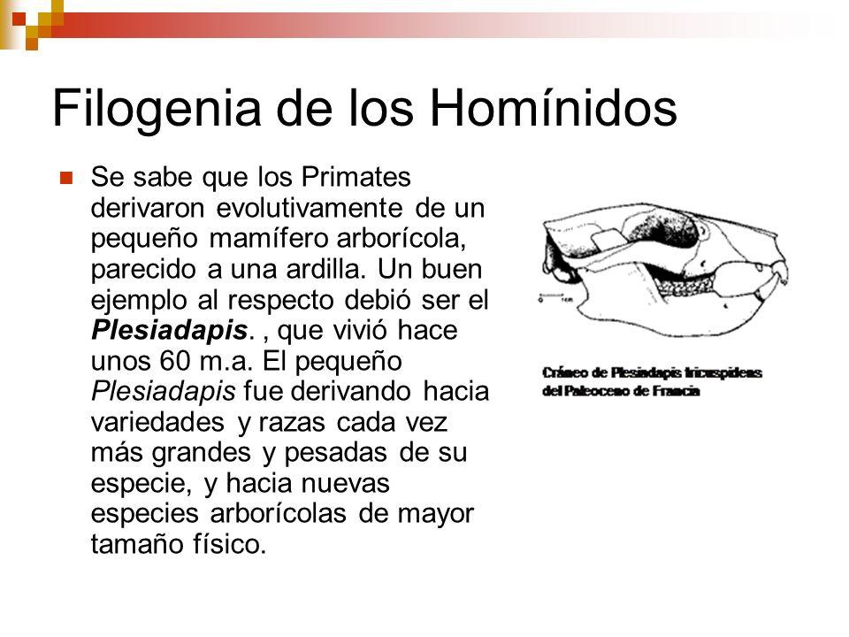 Filogenia de los Homínidos Se sabe que los Primates derivaron evolutivamente de un pequeño mamífero arborícola, parecido a una ardilla. Un buen ejempl