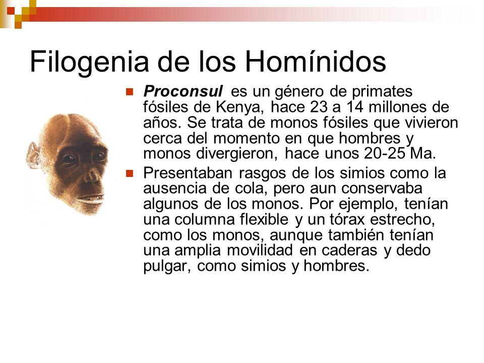 Filogenia de los Homínidos Proconsul es un género de primates fósiles de Kenya, hace 23 a 14 millones de años. Se trata de monos fósiles que vivieron
