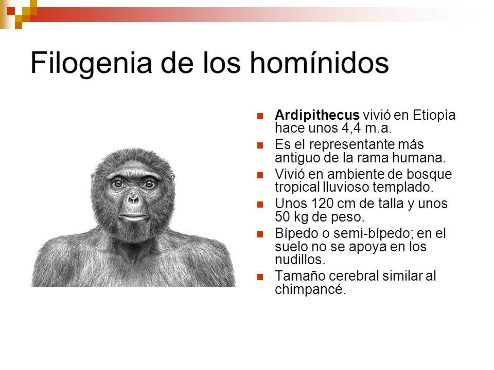 Filogenia de los homínidos Ardipithecus vivió en Etiopìa hace unos 4,4 m.a. Es el representante más antiguo de la rama humana. Vivió en ambiente de bo